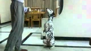 Dalmatian Training!