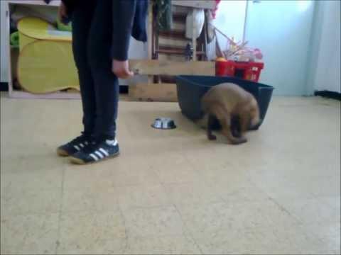 تدريب كلب جيرمن على الشراسة العالية كابتن عبدة | Doovi