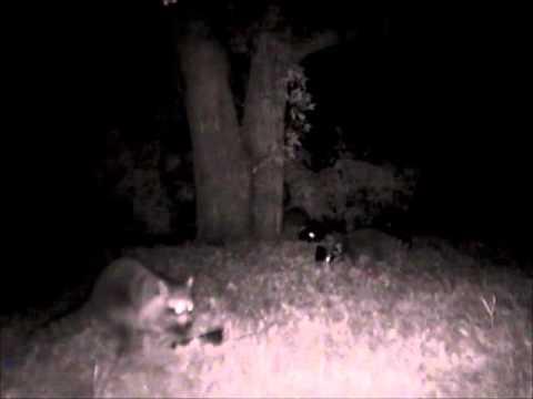 Raccoons at night in my backyard - YouTube