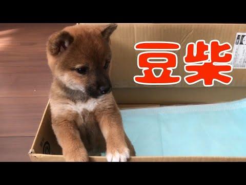 柴犬の子犬が家にやってきた♪ Shiba Inu Puppy