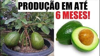 Como ter abacateiro em vaso, produção em até 6 meses!