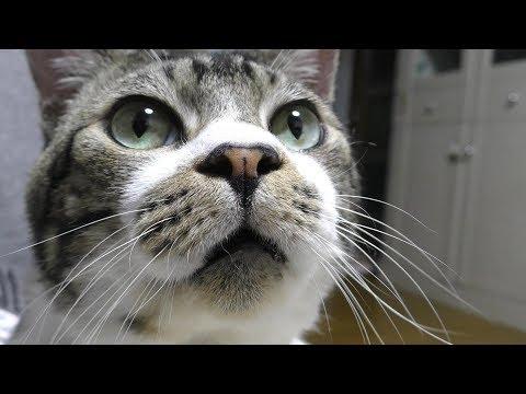いっぱい遊んだ後はパパのお膝でまったり♥甘えん坊する猫リキちゃん☆ナデナデが気持ちよくて夢心地【リキちゃんねる 猫動画】Cat video キジトラ猫との暮らし