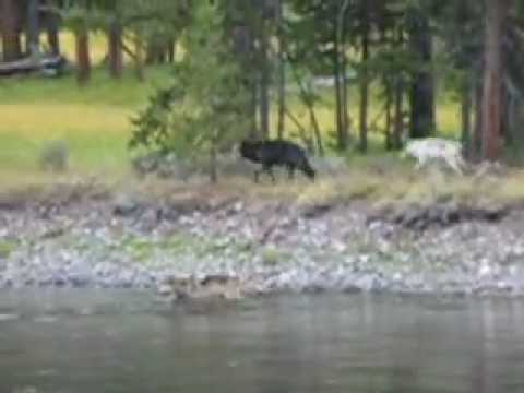 Wolves stalk elk in Yellowstone