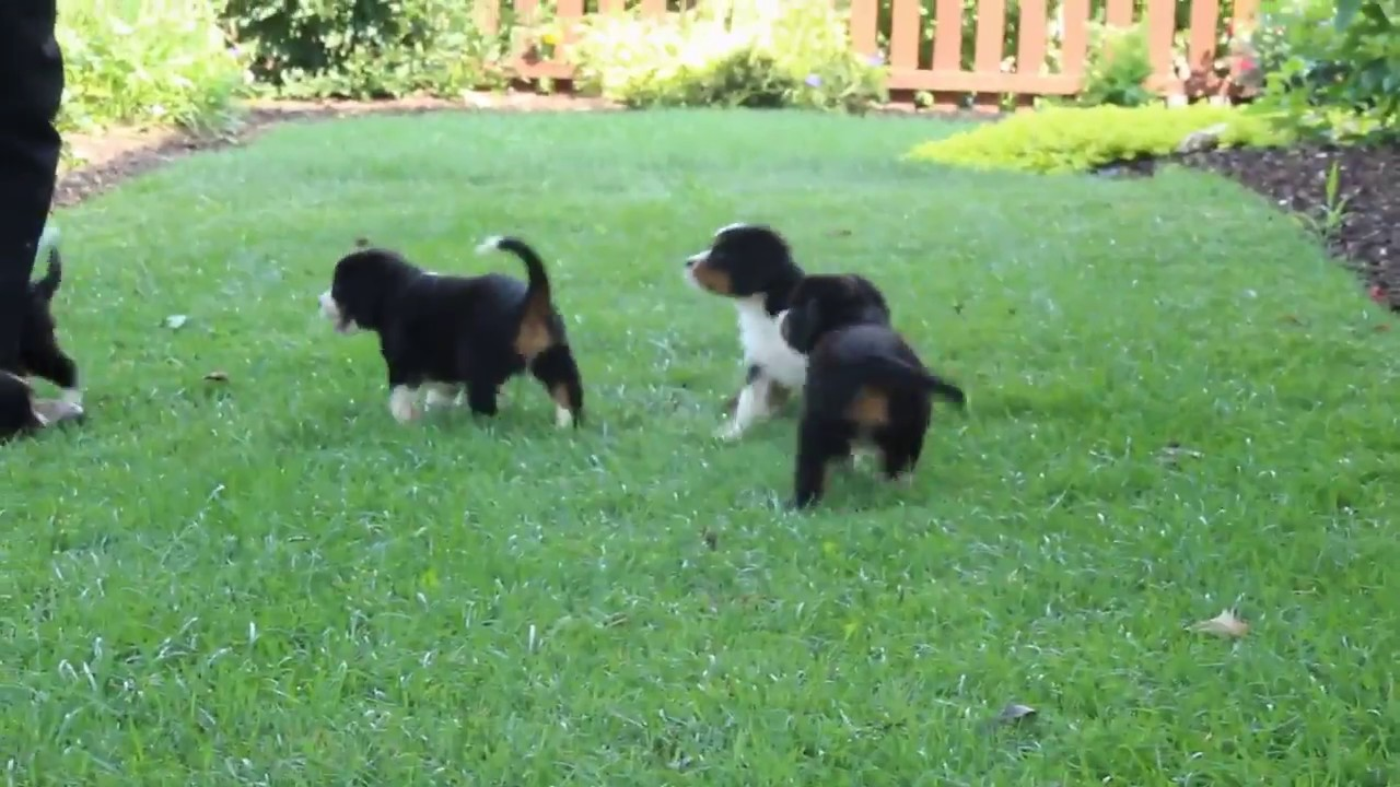 Miniature Bernese Mountain Dog Puppies For Sale Youtube