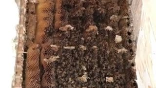 25 Year Old Honey Bee Colony Rescue/ Complete Cut Out!!!.mp3