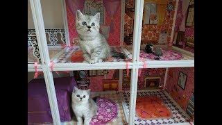 КОШКИН ДОМ 😻 КОТЯТА ИГРАЮТ В ДОМИКЕ  СКОТТИШ СТРАЙТ  Игровая комната для котят Kittens