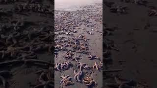 Сотни морских звезд выбросились на берег в Стародубском