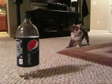 Mini Aussie puppy barks at Pepsi bottle