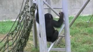 円山動物園のチンパンジーたち。 じゃれ合って楽しげな声を出したり、鳴...