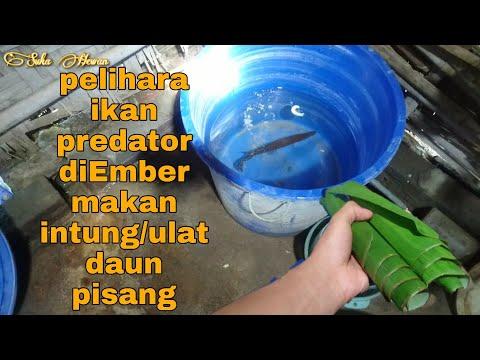 pelihara-ikan-predator-di-ember-#ikanpredator