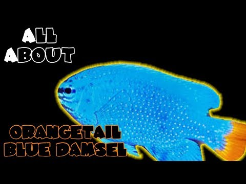 All About The OrangeTail Blue Damselfish