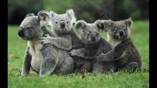 Koala - Australia (Original Extended mix)