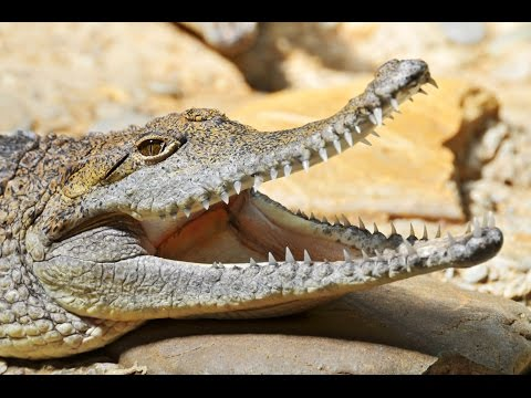 crocodile:-animals-for-children-kids-videos-kindergarten-preschool-learning-toddlers-sounds-songs