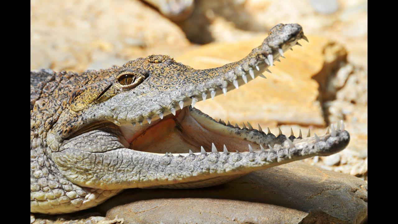 Crocodile  Animals For Children Kids Videos Kindergarten