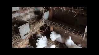 Вертячка (Ньюкаслская болезнь) у голубей Ч.2