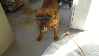 歯磨きガムを我慢するスタッフィー.