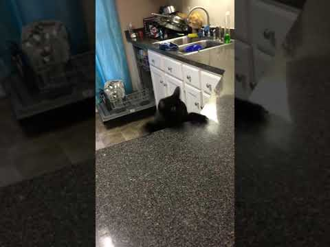 Black manx Cat falls off counter