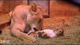 Sit Down With Lion Cubs at Woodland Park Zoo Seattle thumbnail