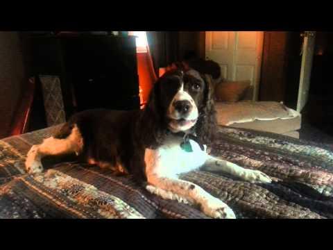English Springer Spaniel howling - Molly