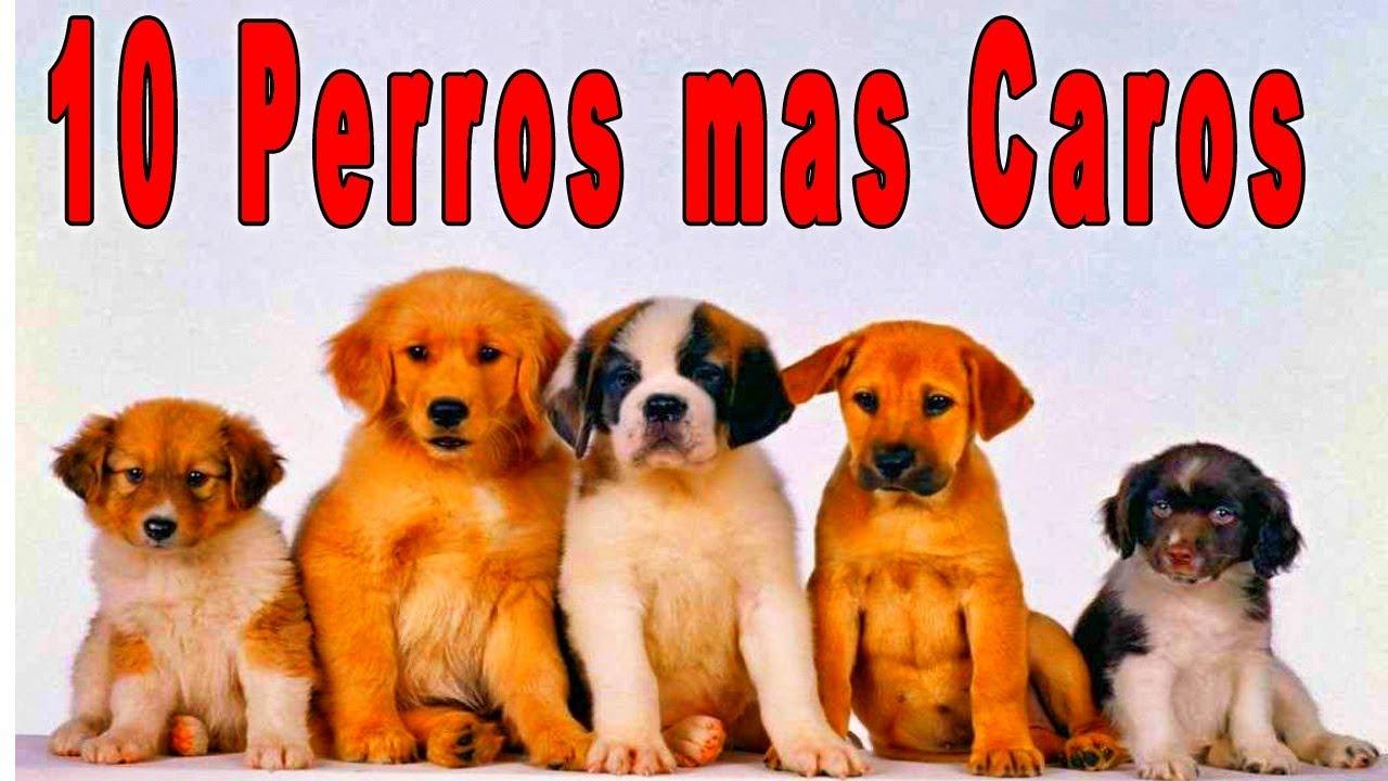 los 10 perros mas costoso del mundo - perros caros - impresionante