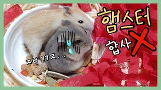 햄스터를 합사하면 안 되는 이유 (The reason why hamsters are not to be combined)