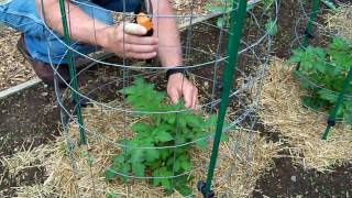 Tomato Growing Tips | Tomato Pruning And Feeding | Tips For Growing Tomatoes