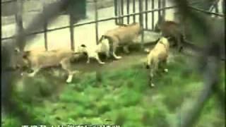 Perros Kangals Viven en el mismo hábitat con leones y tigres. Increíble!!