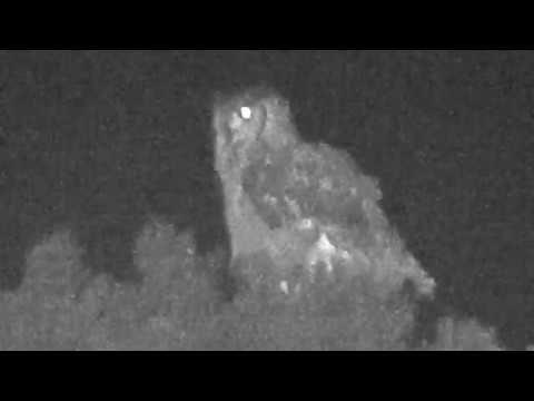 Arabian Spotted Eagle-Owl: Tanomah, Saudi Arabia, November 30, 2018