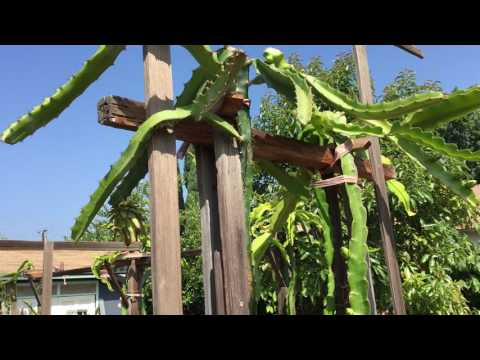 Dragon fruit cactus farm in urban area.