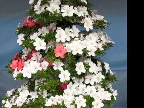 satuki bonsai