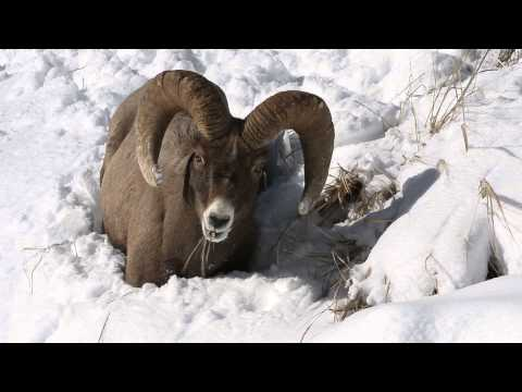 Bighorn Ram in Yellowstone National Park