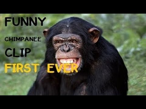 cute chimpanzee first ever funny chimpanzee that will make you laugh