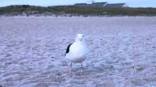 Чайка на побережье Атлантического океана