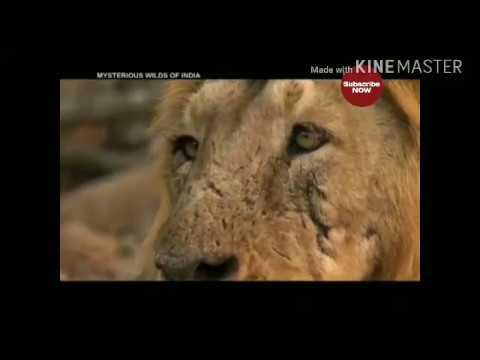 शेर का नाम सुनते ही रोंगटे खड़े हो जाते हैं। जंगल का यह राजा और इसके अन्य परिवारीय सदस्य जैसे चीता