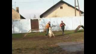 Personal Protection Dogs For Sale-protection Work