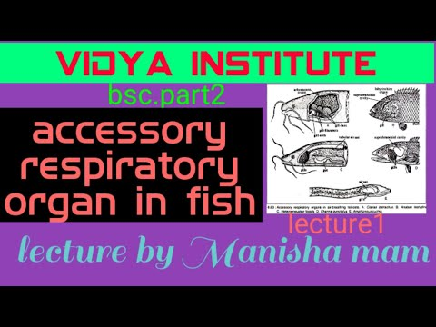 Accessory Respiratory Organ In Fish By Manisha Mam