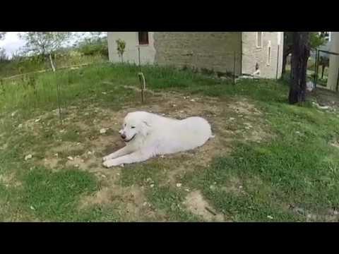 EX PAT LIFE IN ABRUZZO. Maremma sheepdog