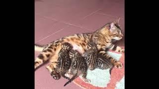 Mèo bengal đẹp