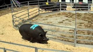 FAST and FAT:Rosaire's Racing Pigs!
