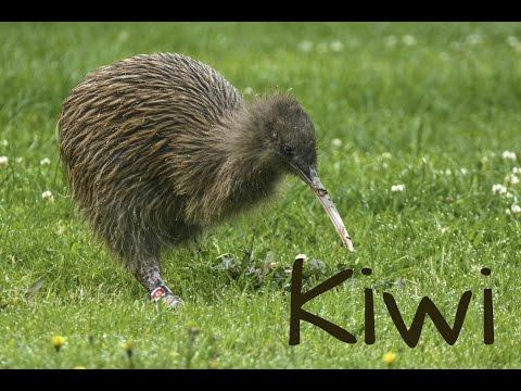 Kiwi Bird 4K