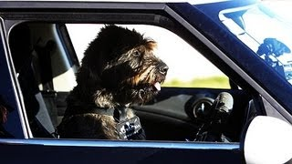Dog Drives Car Without Aid On Live Television