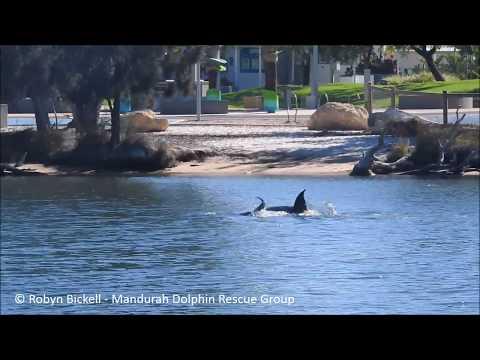 Mandurah Dolphin Birth Part 1 - By Mandurah Dolphin Rescue Group