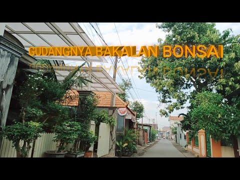 Download BAKALAN BONSAI MELIMPAH