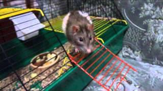 Декоративные домашние крысы. Две крысы - Два темперамента