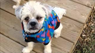 Border-terrier+brussels+shihtzu-blend-spayed-gorgeous1yr-girl-kenmarrescue