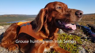 Grouse hunting with Irish Setters