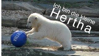 Berlins kleine Eisbärendame heißt Hertha