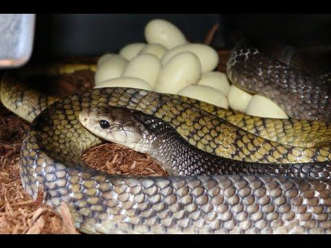 Reptile Reality-YT Cribo eggs again 2017