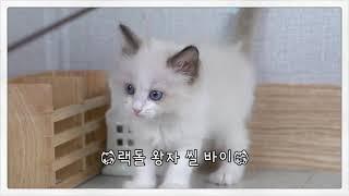 고양이분양 랙돌 왕자 씰 바이