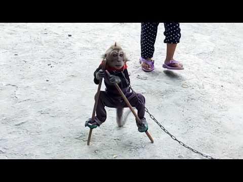 Topeng Monyet   Atraksi Topeng Monyet Jalanan   Sirkus Binatang
